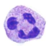Divagaciones de un Leucocito Curioso